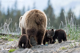 Grizzly Bear Family 2