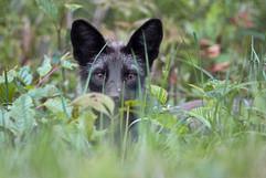Black Fox