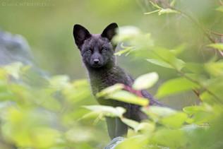 Black Fox Kit 3