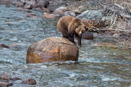 Grizzly Bear 6