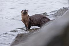 River Otter 10