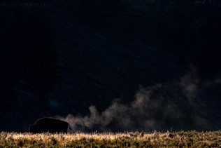 Steaming Bison