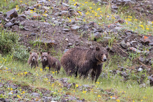 Grizzly Bear Family 4