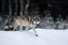 Grey Wolf 3