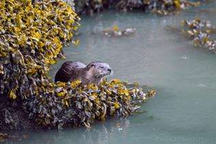 River Otter 5