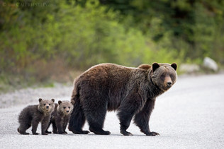 Grizzly Bear Family 1