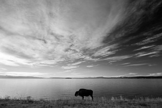 Lonely Bison B&W