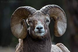 Bighorn Ram Portrait 1