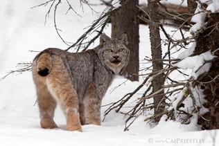 Canadian Lynx 10