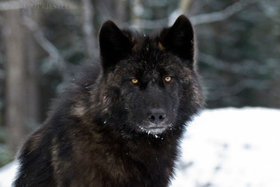 Black Wolf Portrait 1