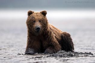 Muddy Grizzly Bear