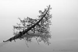 Submerged Tree B&W