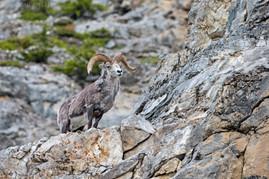 Stone Sheep Ram