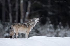 Grey Wolf Howling