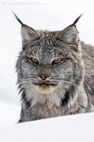 Canadian Lynx 15