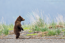 Standing Grizzly Cub