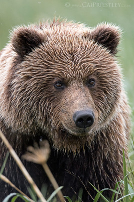 Grizzly Bear 9