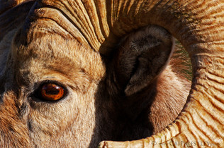Bighorn Ram Profile