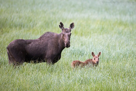 Moose With Calf 2