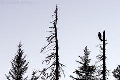 Bald Eagle Silhouette 1