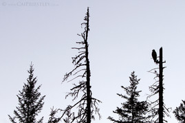 Bald Eagle Silhouette 1
