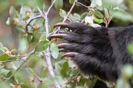 Grizzly Bear Claw