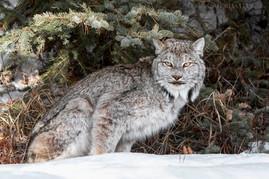 Canadian Lynx 3