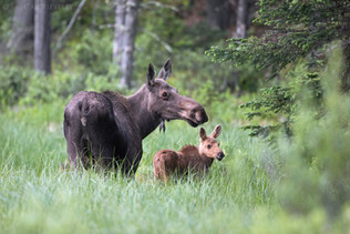 Moose With Calf 1