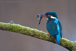 Kingfisher With Newt