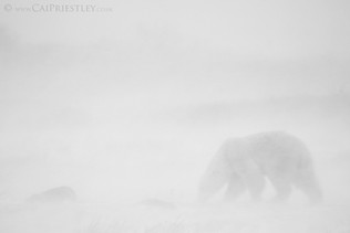 Polar Bear Blizzard B&W