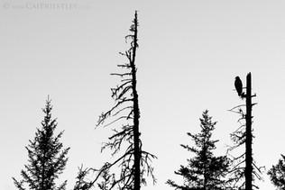 Bald Eagle Silhouette B&W