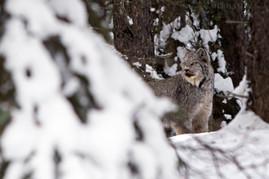 Canadian Lynx 13