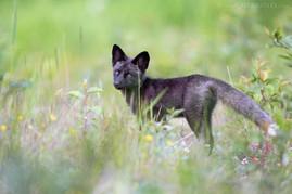 Black Fox Kit Meadow