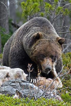 Grizzly Bear On Carcass