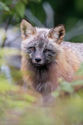 Cross Fox Portrait
