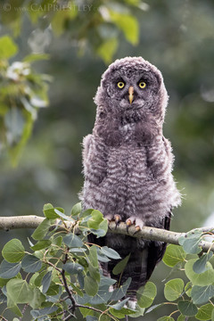 Great Grey Owl Chick 3