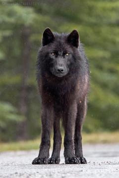 Black Wolf Rain 2