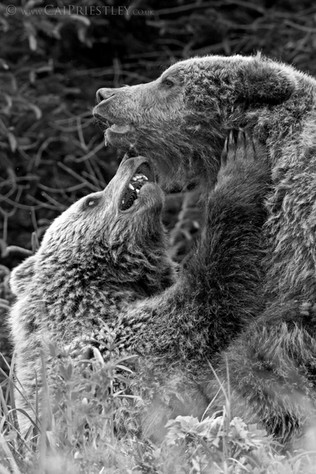 Grizzlies In Love B&W
