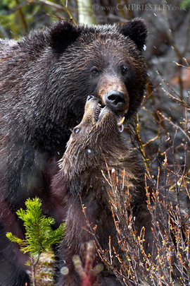 Grizzly Bear Sow And Cub 5