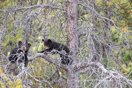 Black Bear Cubs 1