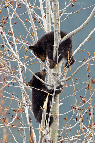 Black Bear Cubs 2