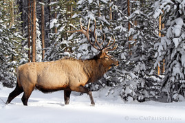 Bull Elk Winter 3