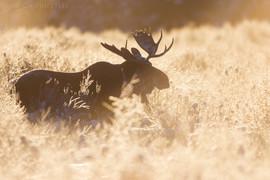 Bull Moose Silhouette 2