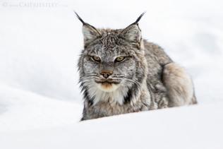Canadian Lynx 6