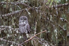 Great Grey Owl 2