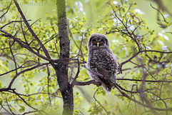 Great Grey Owl Chick 1