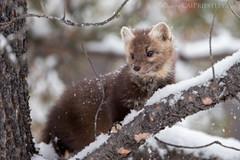 Pine Marten Snow 1