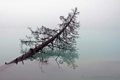 Submerged Tree