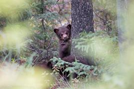 Black Bear Cub 2