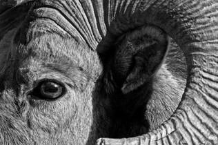 Bighorn Ram Profile B&W
